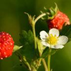 wild_strawberry_thumb