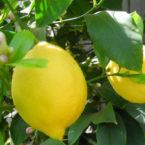 lemon_thumb_0